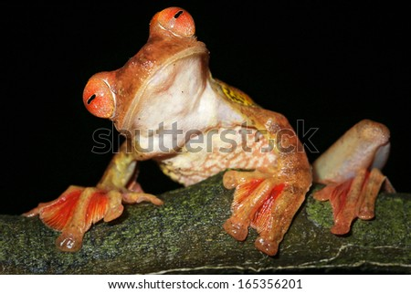 Harlequin Flying Frog (Rhacophorus pardalis) perches and watches in the rain forests of Malaysian Borneo. Large webbed feet allow the frog to glide long distances through the air. Funny. Comical. - stock photo