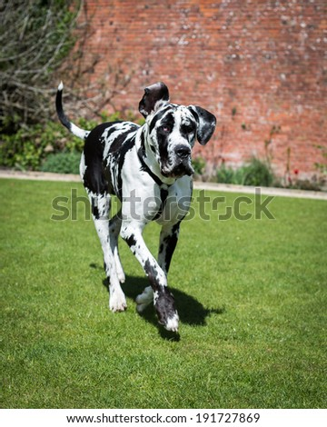 Harlequin Great Dane - stock photo