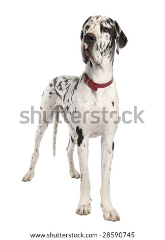 harlequin Great Dane in front of a white background - stock photo