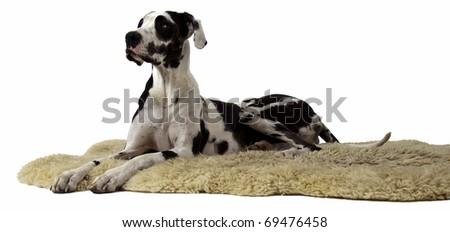 Harlequin Great Dane on Sheepskin Rug - stock photo