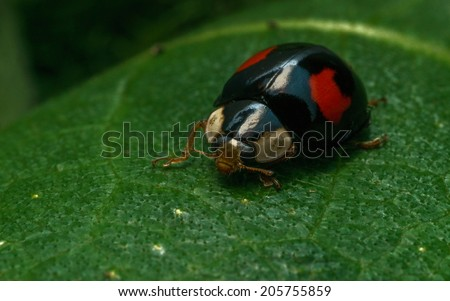 Harlequin Ladybird (Ladybug) on a green leaf - stock photo
