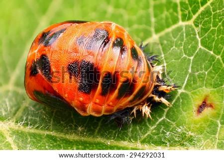 Harlequin ladybird pupa - Very sharp and detailed - stock photo