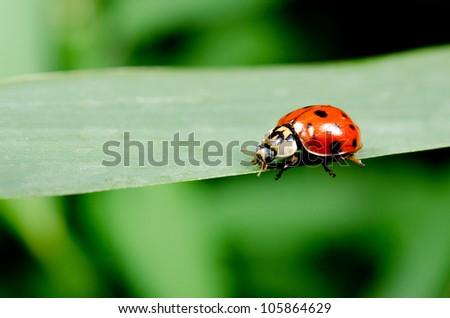 harlequin ladybird running along grass blade - stock photo