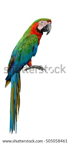 Harlequin Macaw, first generation hybrid a cross between Blue and Gold Macaw and Green-winged, beautiful green and orange parrot isolated on white background