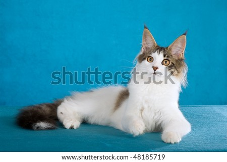 Harlequin Maine Coon on blue background - stock photo