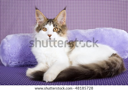 Harlequin Maine Coon on lilac purple background - stock photo