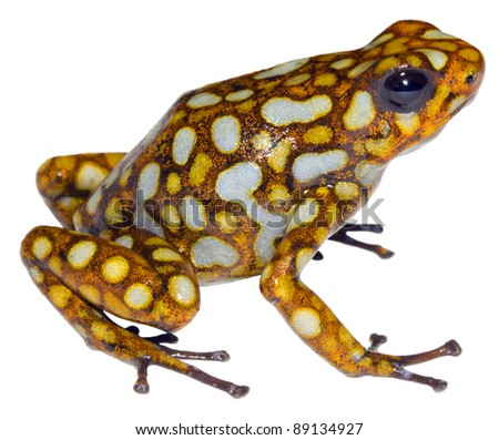 Harlequin Poison Frog (Oophaga sylvatica) from the Choco Biological Region in north-west Ecuador. - stock photo