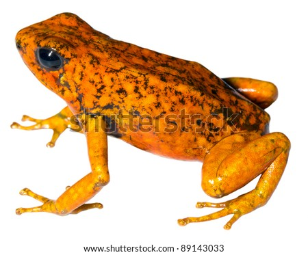 Harlequin Poison Frog (Oophaga sylvatica) from the Choco Biological Region in north-west Ecuador, orange morph. - stock photo