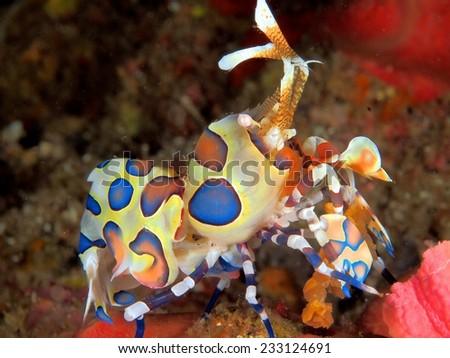 Harlequin shrimp - stock photo