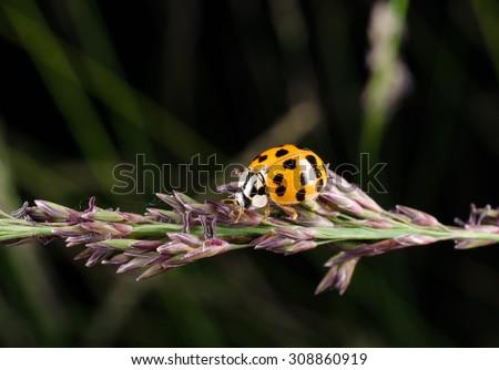 harmonia axyridis, ladybird - stock photo