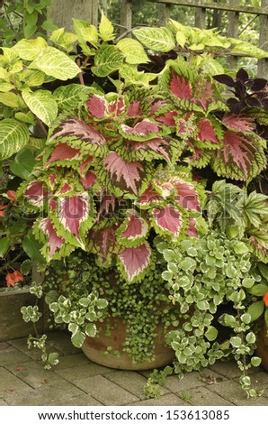 Harmony in ornamental garden: Arrangement of coleus and other potted plants late in summer, northern Illinois - stock photo