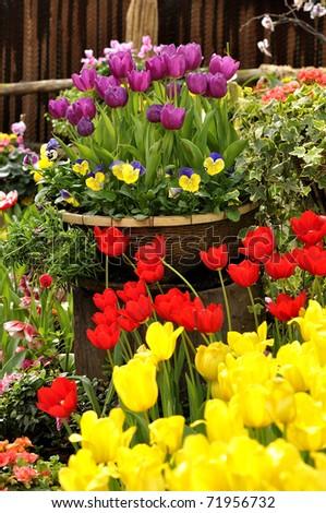 Harmony Tulips flower garden colorful - stock photo