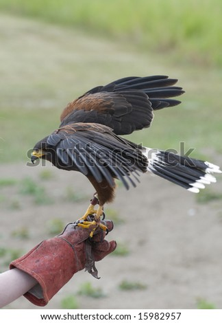 Harrier hawk being trained at a falconry range