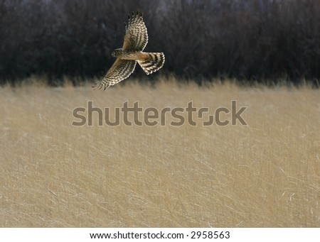 Harrier in flight, backlit - stock photo