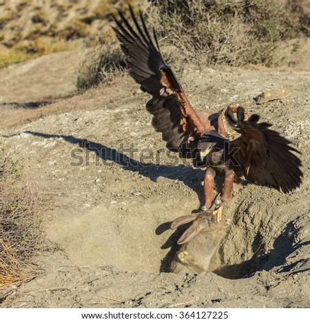 Harris' Hawk and its prey - stock photo