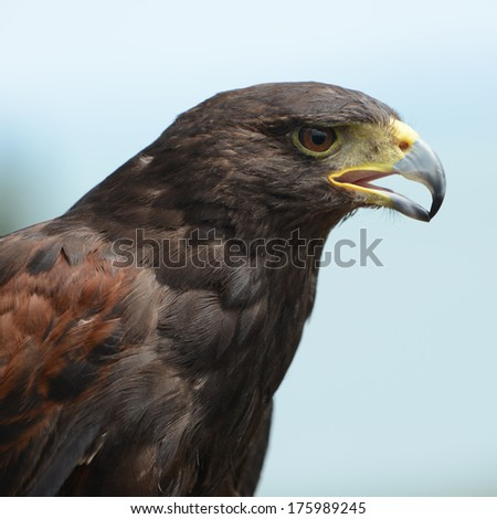Harris Hawk (bird of prey) head detail. - stock photo