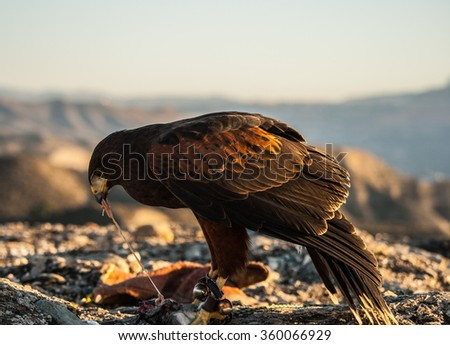 Harris' Hawk eats its prey - stock photo