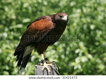 Harris Hawk looking for prey - stock photo