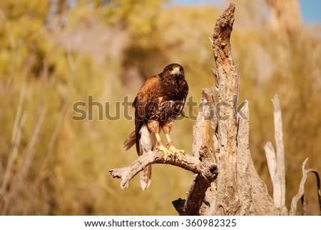 Harris Hawk on Branch Tucson Arizona - stock photo