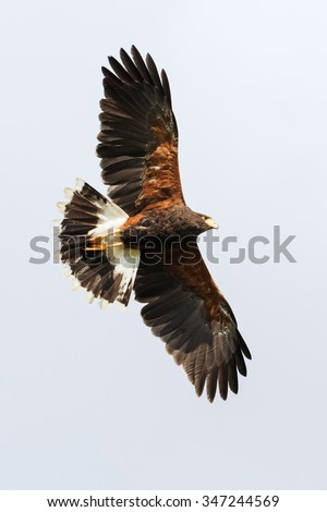 Harris Hawk overhead. A beautiful Harris Hawk shows off its colours as it soars overhead. - stock photo