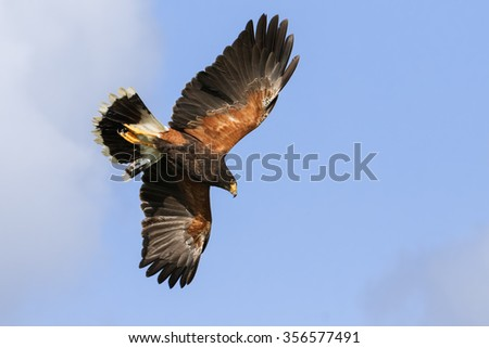 Harris Hawk overhead. A magnificent Harris hawk shows the colours in its plumage to good effect as it soars in a blue sky. - stock photo