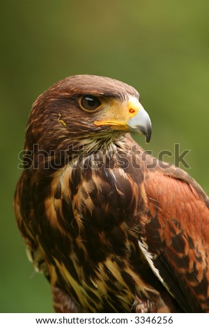 Harris Hawk (Parabuteo unicinctus) - stock photo