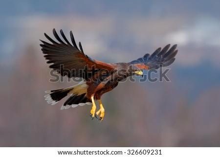 Harris Hawk, Parabuteo unicinctus, bird of prey in flight, in habitat - stock photo