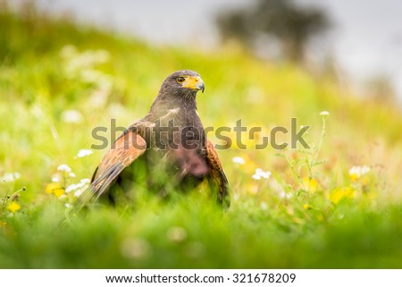 Harris's Hawk bird of prey sitting on a nice and colorful flowering meadow