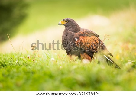 Harris's Hawk bird of prey sitting on the ground in the wild, the pretty flowering meadow full of wildflowers - stock photo