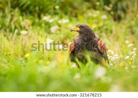 Harris's Hawk bird of prey sitting on the ground, on a beautiful meadow full of blooming wildflowers - stock photo