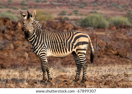 Hartmann Zebra in Palmwag concession, Damaraland, Namibia - stock photo