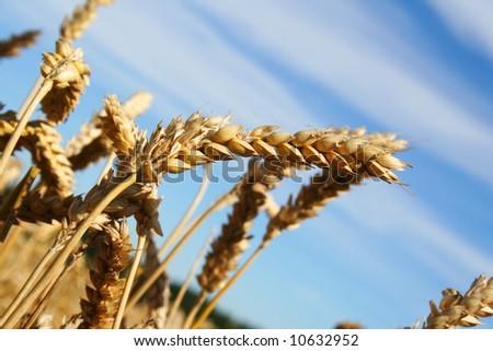 Harvest. Beautiful wheat (rye) ear on the field - stock photo