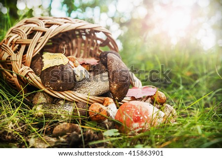 harvest brown cap boletus in a basket. Focus on boletus mushroom in a basket - stock photo