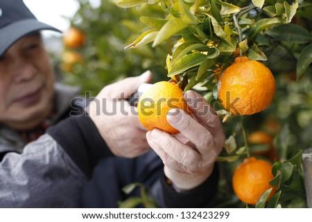 Harvest citrus - stock photo