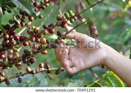 harvest coffee - stock photo