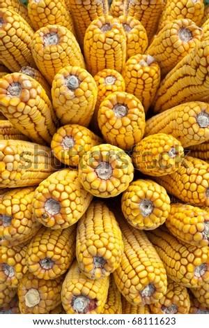 harvest corn - stock photo