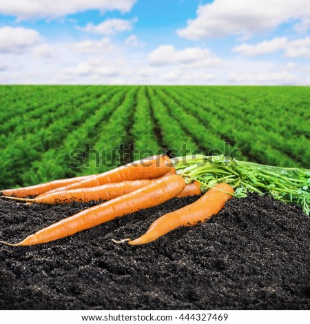Harvest fresh carrots on the ground on a background of field - stock photo