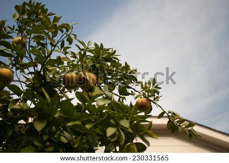 Harvest from orange tree in spring - stock photo