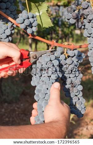 harvest grapes - stock photo