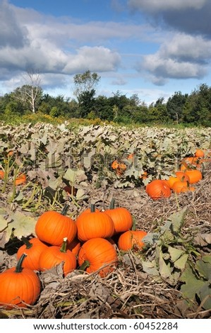harvest in a field of pumpkins in early fall