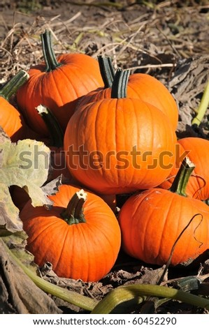 harvest in a field of pumpkins in early fall - stock photo