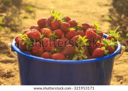 harvest in the garden, a bucket of strawberries, juicy strawberries - stock photo