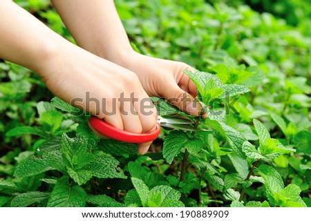 harvest mint in vegetable garden