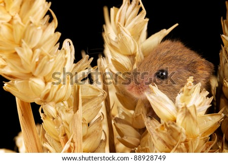 Harvest mouse in amongst corn - stock photo