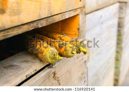 harvest of carrots - stock photo