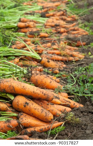 harvest of carrots in field - stock photo