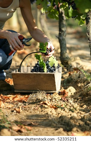 Harvest of grapes - stock photo