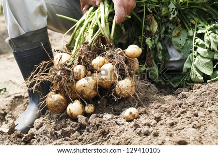 Harvest of potato - stock photo