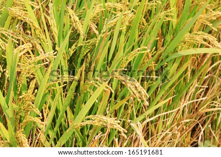harvest of rice grain in rural in autumn north china