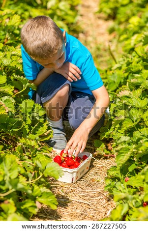Harvest of ripe red strawberries on a sunny summer day.